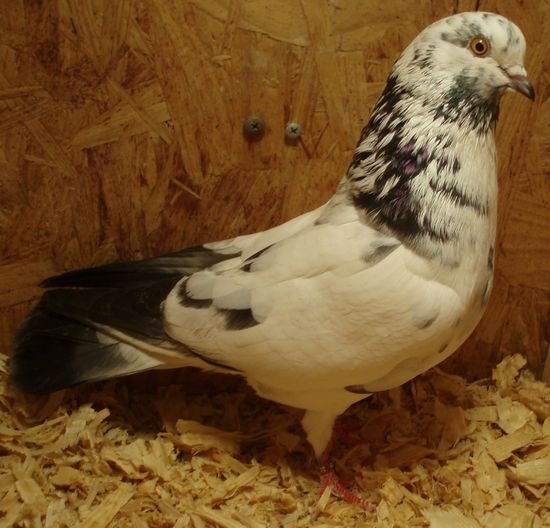 Roller pigeons - photo#16