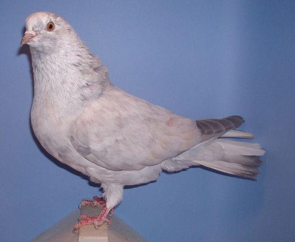 Roller pigeons - photo#21