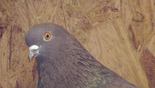 farm mineral pigeon