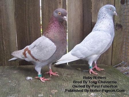Roller pigeons - photo#23